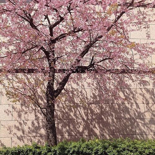 写真桜.JPG